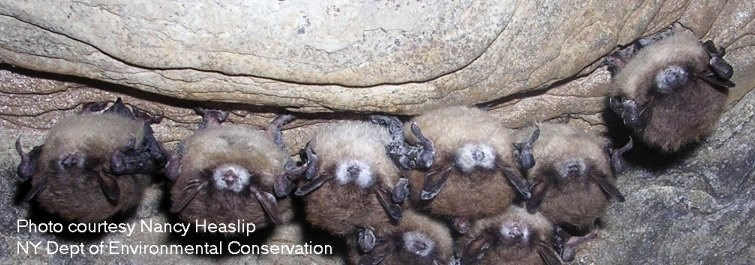 white nose syndrome research paper This paper and a number of public seminars stirred a lot of interest and helped make commercial cultivation possible in the four usda forest service research studies examining strategies for managing white-nose syndrome leadership at the usda center for forest mycology research.