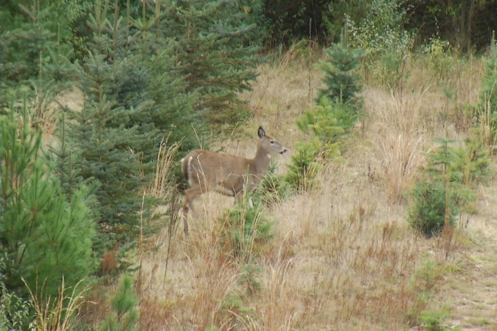 Federal lab: Montcalm Co. deer tested positive for chronic wasting disease
