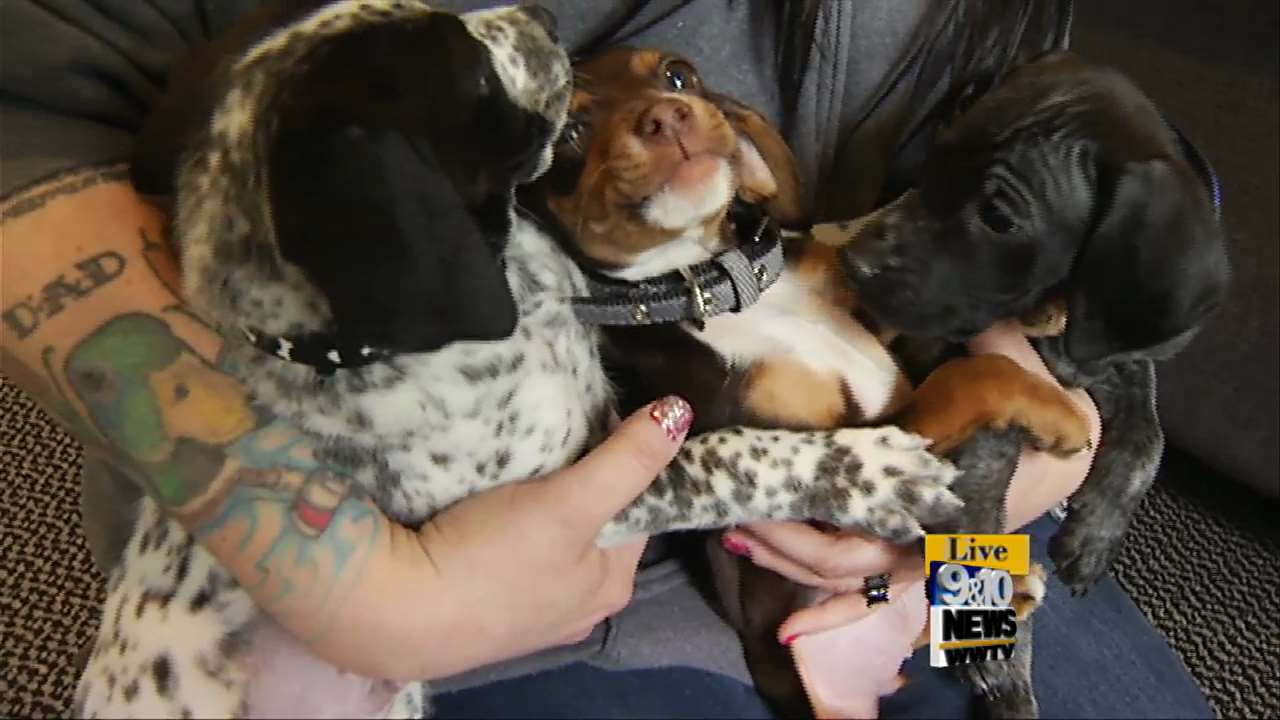 8 English Bluetick Coonhound Puppies Need Families At