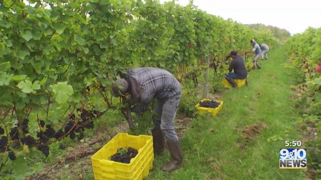 Mtm On The Road: Mawby Sparkling Wine Harvests For The Season
