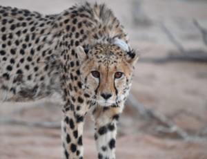 Cheetah Conservation Fund - 18th Annual DC Gala @ Hyatt Regency Crystal City At Reagan National Airport