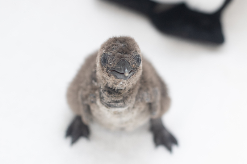 Penguin Chick Audubon Aquarium Of The Americas March 2020