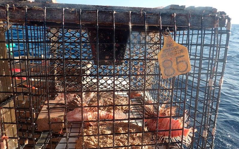Lionfish Traps