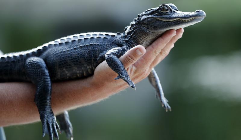 Alligator Ban Lawsuit