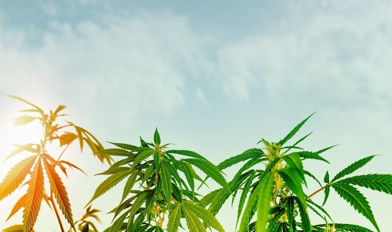 Low Angle Of Medical Cannabis Plant Against Sky