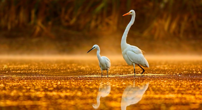 Birds In Golden Misty Morning