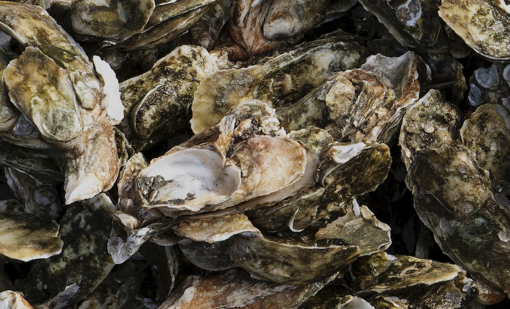 Raw Oyster Clusters From Mcclellanville South Carolina