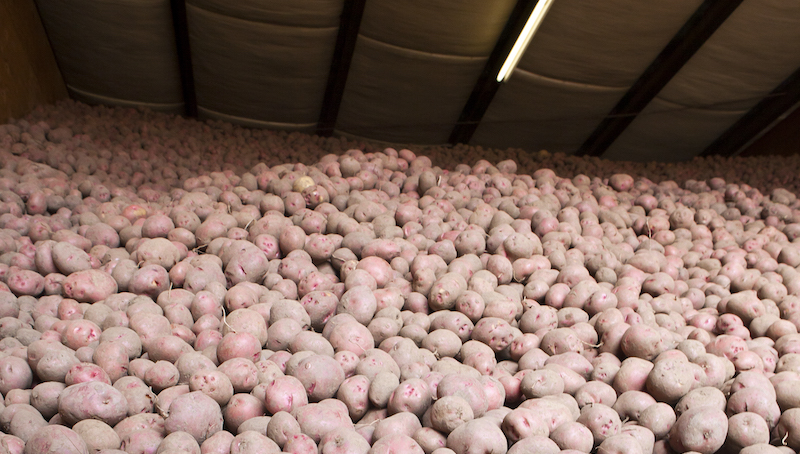 Millions Of Potatoes In Storage
