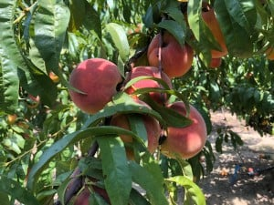 Feelin' Peachy Festivals @ Old 96 District – Abbeville, Edgefield, Greenwood, Laurens, McCormick Counties, Souther Carolina