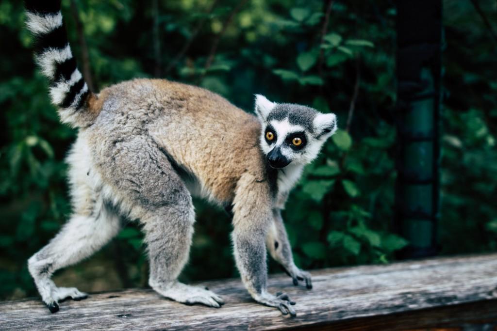 How To Visit The Duke Lemur Center This Summer