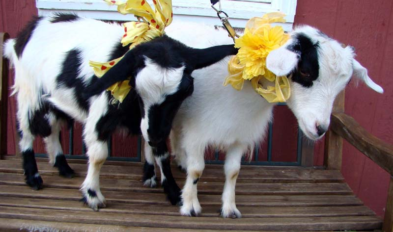 Goatswithbows