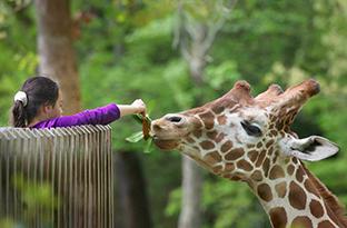 Nc Zoo Giraffe Deck