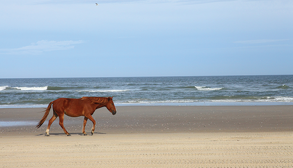 Wildhorsewalkingoncarovabeach