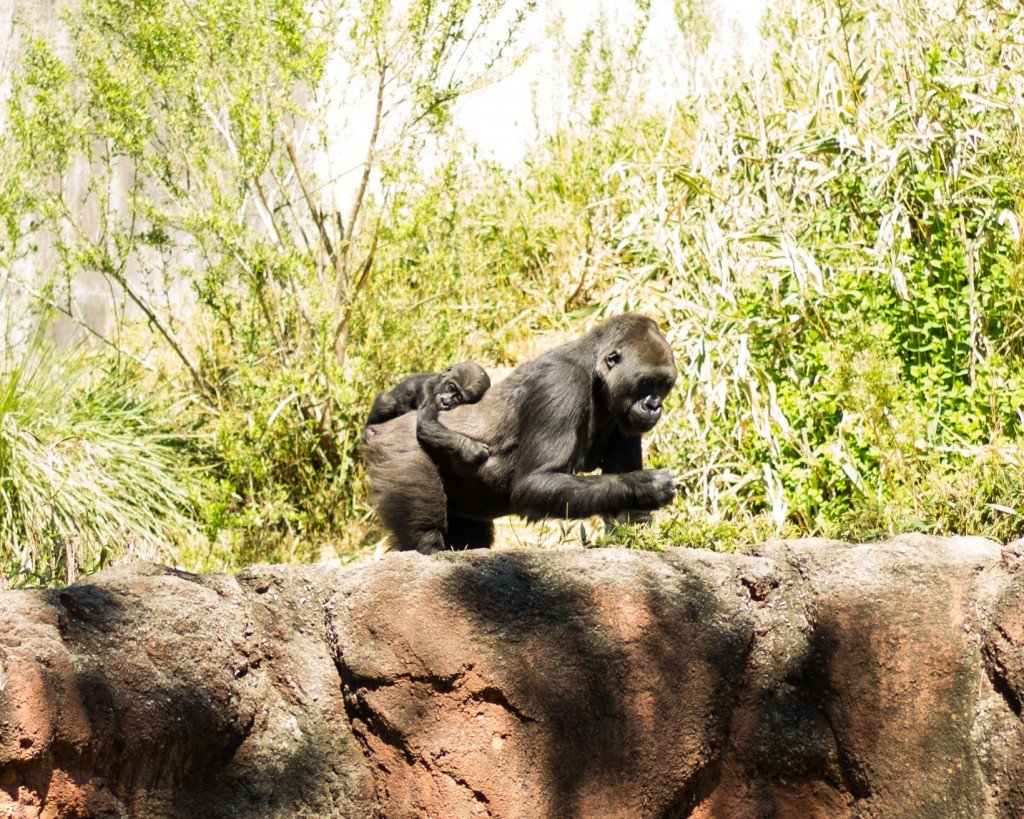 Riverbankszoogorilla Tiffanywolff