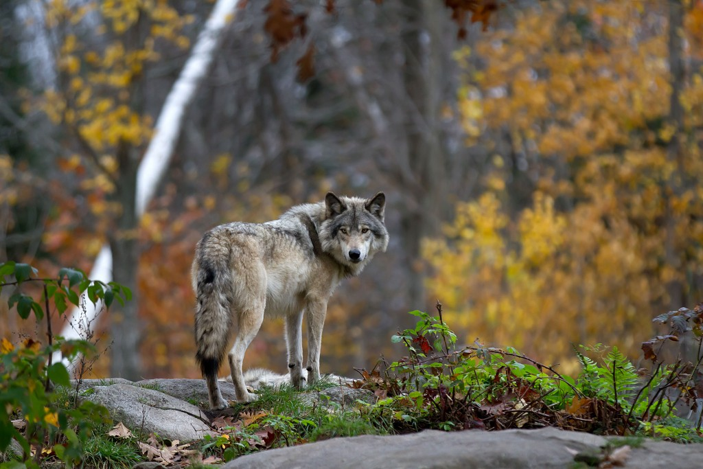 A,lone,timber,wolf,or,grey,wolf,(canis,lupus),standing