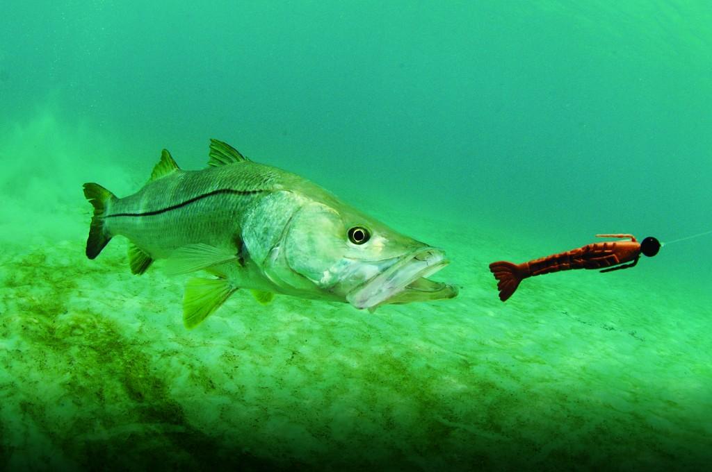 Snook Fish Chasing Lure In Ocean