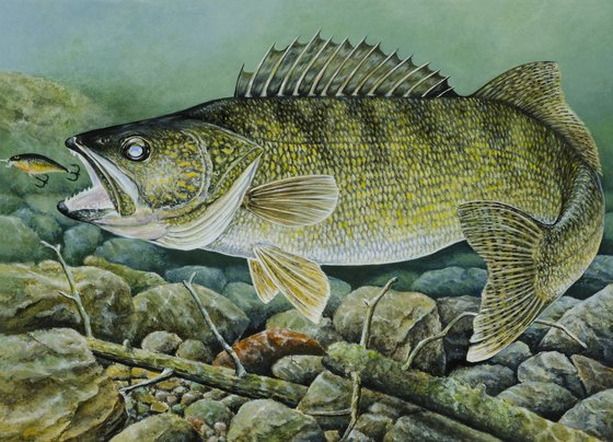 Duluth artist wins walleye stamp contest fox21online for Duluth mn fishing report