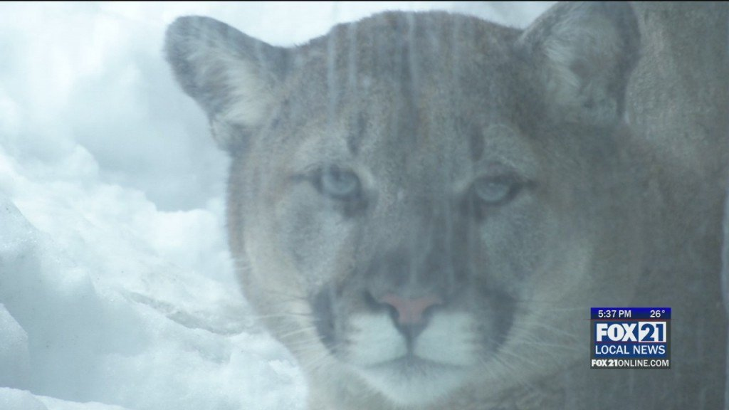 New Cougar Exhibit
