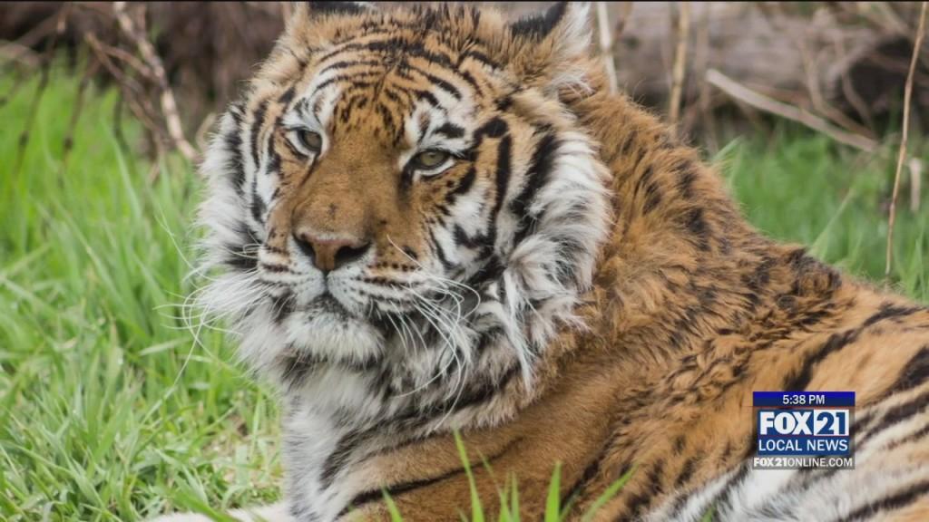Tiger Covid