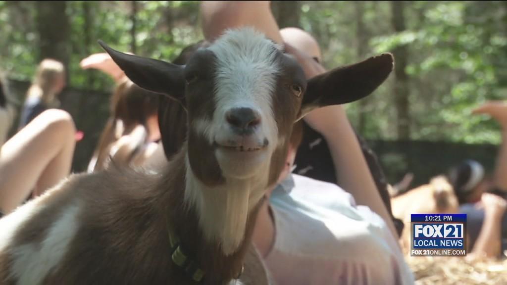 Goat Yoga Returns