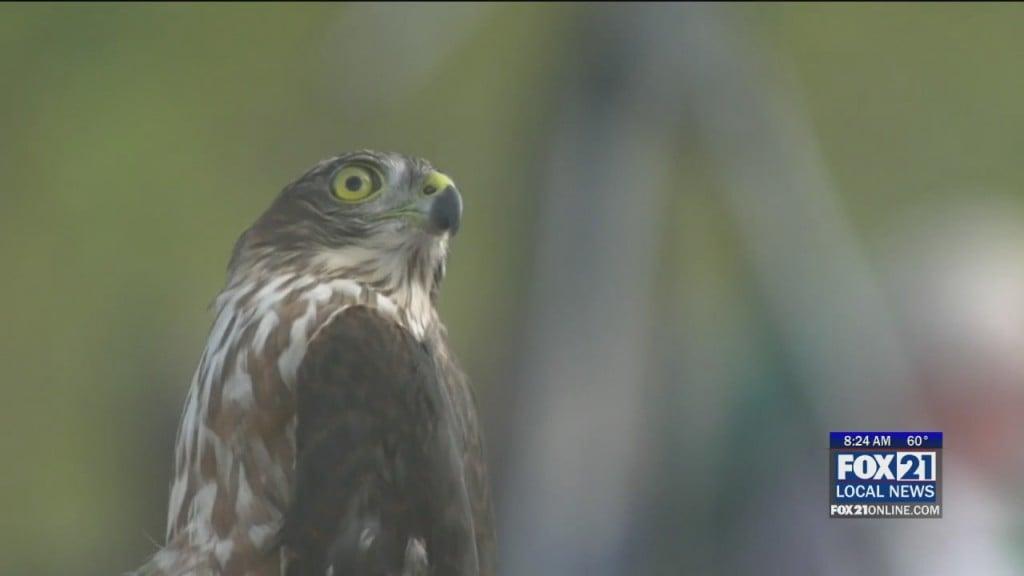 Hawk Ridge Fall Migration