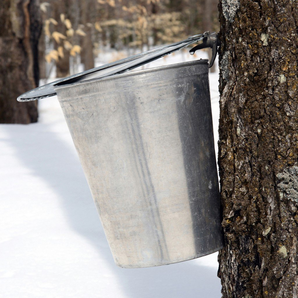 Droplet Of Maple Sap Ready To Fall Into A Pail
