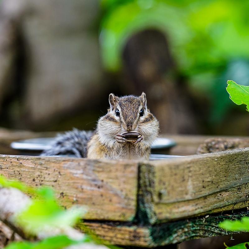 Lovely Chipmunks In The Woods