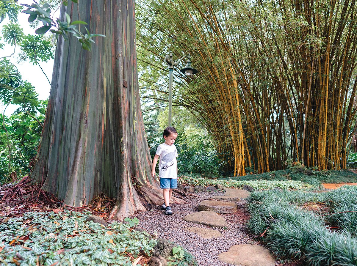 Wahiawa Botanical Garden Eucalyptus Tree