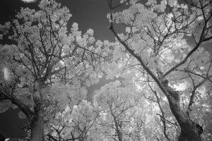 Baobab Tree University Of Hawaii Ay Trees 1561
