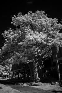Baobab Tree University Of Hawaii Ay Trees 1563 2