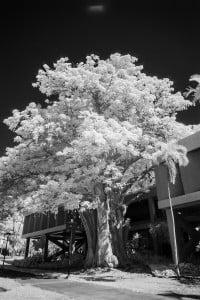 Baobab Tree University Of Hawaii Ay Trees 1564