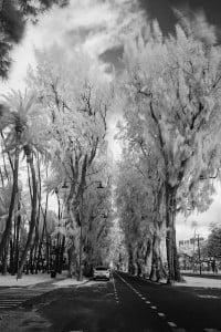 Ironwood Trees Kalakaua Avenue Ay Trees 0517