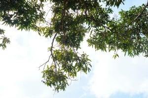 Mango Trees Nuuanu Park 0331