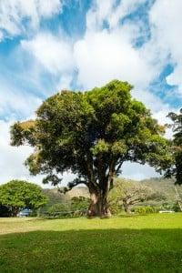 Mango Trees Nuuanu Park Ay Trees 0243 2