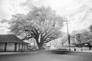 Waialua Earpod Tree Ay Trees Ir 0538