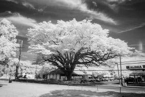 Waialua Earpod Tree Ay Trees Ir 0561 2