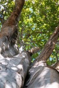 Web Baobab Tree University Of Hawaii Ay Trees 1600