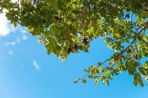 Web Baobab Tree University Of Hawaii Ay Trees 1611 2