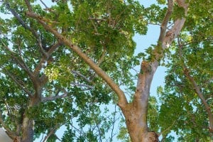 Web Baobab Tree University Of Hawaii Ay Trees 1616
