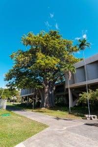 Web Baobab Tree University Of Hawaii Hn2102 Ay Trees