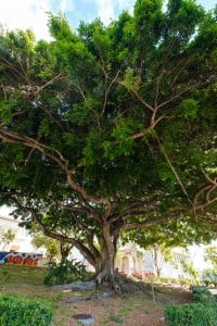 Web Benjamin Fig Tree Roosevelt High School Ay Trees 2483