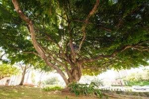 Web Benjamin Fig Tree Roosevelt High School Ay Trees 2584