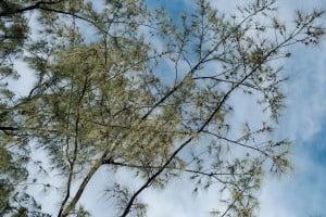 Web Ironwood Trees Kalakaua Ay Trees 0141