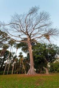 Web Kapok Foster Botanical Garden Ay Trees 1890