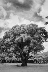 Web Mango Trees Nuuanu Park 0610