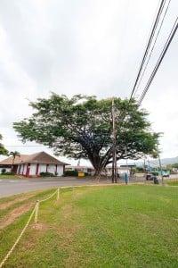 Web Waialua Earpod Tree Ay Trees 0427