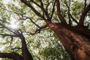 Web Waialua Earpod Tree Ay Trees 0463 2