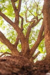 Web Waialua Earpod Tree Ay Trees 0597 2