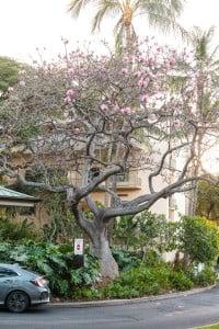 Queens Medical Center Pink Bombax In Bloom Aaron Yoshino