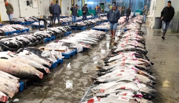 VIDEO: From auction to PokeFest, world's best ahi
